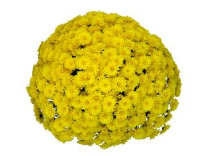 Chrysanthemum (Yellow Garden Mum)