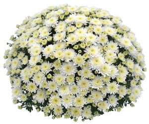 Chrysanthemum (White Garden Mum)