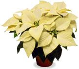 Poinsettia (White Poinsettia)