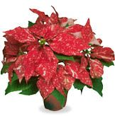 Poinsettia (Red Glitter Poinsettia)