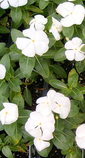 Vinca (Cooler Coconut)