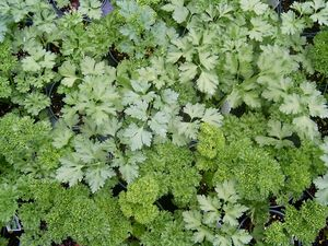 Petroselinum crispum (Italian Plain Parsley)