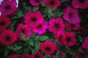 Petunia (Wave Purple Petunia)