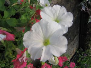 Petunia (Easy Wave White Petunia)