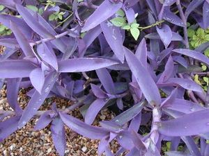 Setcreasea 39 purple heart 39 purple heart wandering jew from fowler 39 s nursery - Wandering jew plant name ...