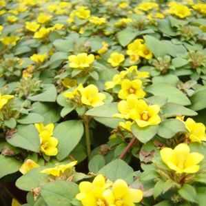 Lysimachia (Trailing Lime Green)