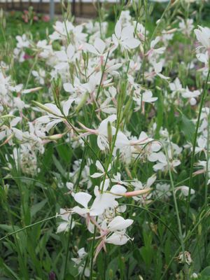 Gaura (White Indian Feather)