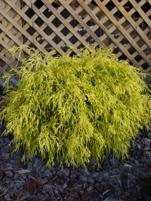 Chamaecyparis pisifera (Golden Mop Japanese Falsecypress)