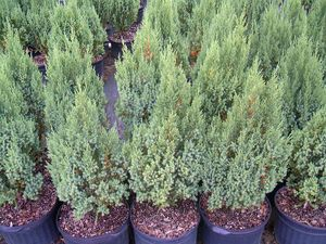 Juniperus chinensis (Blue Point Juniper)