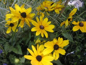 Rudbeckia hirta (Indian Summer Black-eyed Susan)
