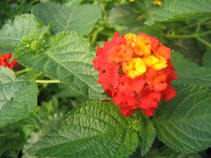 Lantana (Dallas Red Lantana)