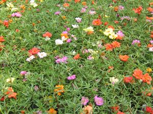 Purslane (Portulaca) (Mix)