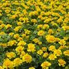 Marigold 'Janie Bright Yellow'