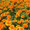 Marigold 'Janie Deep Orange'