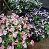 Torenia 'Clown Mix'