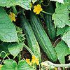 Cucumber 'Bush Pickle'
