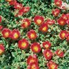 Purslane (Portulaca) 'Red'