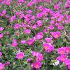 Purslane (Portulaca) 'Rose'