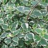 Swedish Ivy 'Variegated'