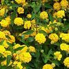 Lantana 'New Gold, yellow'