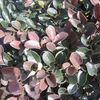 Loropetalum chinense 'Plum Delight'
