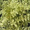 Ligustrum sinense Swift Creek 'Swift Creek'