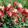 Aquilegia X 'Red Hobbit'