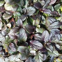 Ajuga 'Bronze Beauty Glow'